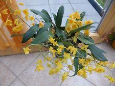 Orchidee  dendrobium aggregatum  Zimmerpflanze *selten*