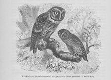 Raufußkauz Aegolius funereus Holzstich von 1891 Eulen G. Mützel