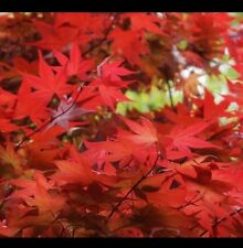 "Acer Palmatum O""kagami / Japanese Maple"
