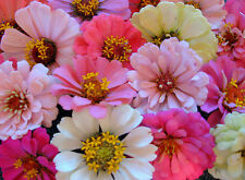 Zinnia Seeds, Baby Girl Mix, Heirloom Zinnia Seed, Heirloom Flower. Non-Gmo 75ct