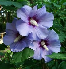 "3 Rose of Sharon Hibiscus Exotic Flowering cuttings 4-6"" to root"