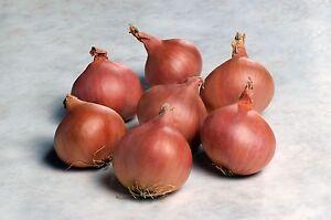Vegetable - Shallot - Matador F1 - 100 Seeds
