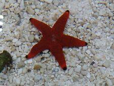 Marine Fish red starfish