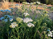 Certified Organic White Yarrow Flower Seeds (~150): Non-GMO Heirloom Seed Packet
