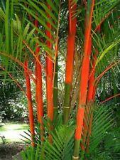 25 X Lápiz Labial Palm Seeds-Cyrtostachys renda