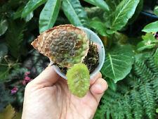Begonia susaniae (collectors, rare African tropical species) terrarium plant