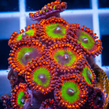 Unique Corals Wysiwyg, Candy Apple Reds