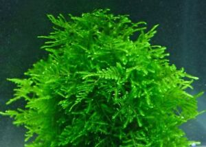 20g Christmas Moss Shrimp Breeding Carpeting Plants Live Aquatic Aquarium EASY