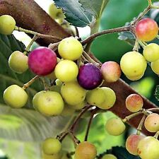 200 Pcs Grewia Asiatica Fruit Seeds/ Phalsa Seeds/ Falsa fruit seeds for sale