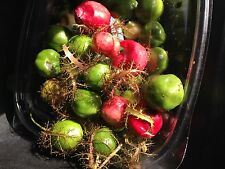 30 Seeds Red Herba Passiflora/Chum Bao/ LacTien Fragrant Fruits& Herbal Medicine