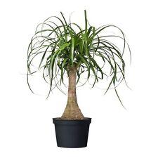 Ponytail Palm - 10 Tropical Seeds - Beaucarnea Recurvata - Elephants Foot Bonsai
