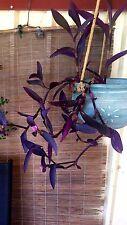 "Tradescantia pallida ""Purpurea"" x 1 plant. Drought ok. Purple leaves. Comb. post"
