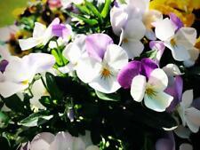 Viola Magnifico seeds-prolífico Bloomer, de larga duración