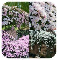 4 x Clematis Montana Mixed Bare Root Plants Climbing Vine Flowering shrub