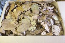 100g bruchlaub Tropical Almond Tree Leaves - Catappa Leaves - Water Treatment