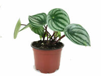 """Watermelon Peperomia Live Plant 4"""" Pot Easy to Grow Houseplant Best Gift"""