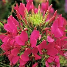 50+ GIANT ROSE QUEEN CLEOME/SPIDER FLOWER SEEDS / PERENNIAL