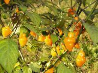 CGN21566 Chili aus Brasilien 10+ Samen - Saatgut - Seeds - Gemüsesamen