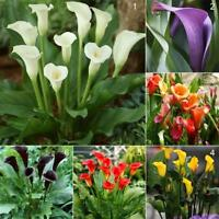 50pcs Calla Lily Seeds Perennial Flower Seed Bonsai Potted Plants Green Home
