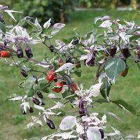 Purple Flash lila-schwarze Chili mit buntem Laub Chilli-Rarität