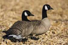 THE # 1,BLACK FLOCKING CANADA GOOSE KIT (BLACK/WHITE INCLUDED)100HD/DUCK/DECOYS