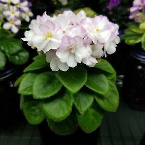 SK-Yablonevyi Sad (SK-Apple Orchard) African Violet Miniature Starter Plant