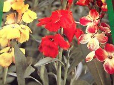 Goldlack Schöne Mischung, zweijährig,blume, ca 40 Samen, Blumen,Frühjahresblüher