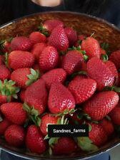 100 Organic Extra Large Strawberry Seeds, Heirloom Very Sweet Strawberries