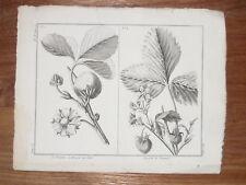 FRAISE CHILI Virginie GRAVURE Botanique ROZIER cours AgrIculture XVIIIéme