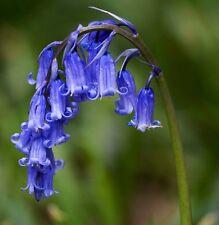 100 ENGLISH BLUEBELL BULBS | Hyacinthoides Non Scripta | In The Green