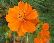 35+ Cosmos Cosmic Orange Flower Seeds /Long Lasting Annual /Drought Tolerant