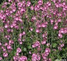 Mallow- Sidalcea Malviflora- Hem's Hybrids- 50 Seeds- Bogo 50% off Sale
