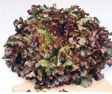 Vegetable - Lettuce - Red Salad Bowl - 1000 Seeds - Economy