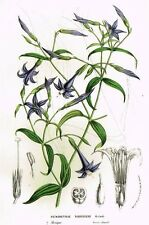 "Van Houtte's ""European Gardens"" -1845- H/C Lithograph - PETASOSTYLIS NIGRESCENS"