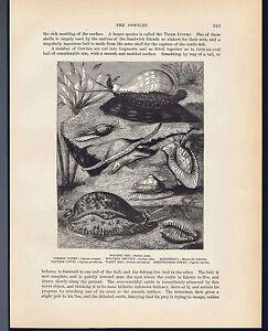Panther Cowry -Marinella-Warty Egg- Shells 1898 Prang Wood Engraved Marine Print
