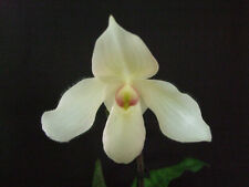 Orchidee / Paphiopedilum Kreuzungshybride / Frauenschuhorchidee / 5062  1-64977