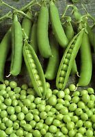 Pea seeds Vegetable Alpha Heirloom Vegetable Seeds. 110 SEEDS