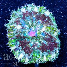 New listing Asd - 084 Warzone Maxi Mini Anemone - Wysiwyg - Aqua Sd Live Coral Frag