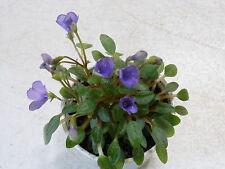 New listing African Violet!Senk's Fruit Fly!