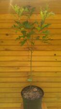 New listing 18� – 24� Pin Oak Tree – Quercus palustris – live dormant tree