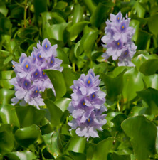 Water Hyacinths Floating Water Garden Plants Seeds Tropical Plants Seed 50 Pcs
