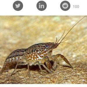 Self cloning crayfish live Aquarium invertebrates