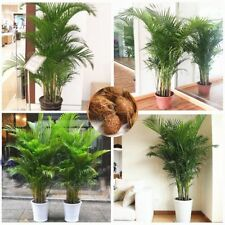Bonsai Seeds Trchrysalidocarpus Lutescens Plants Decoration Areca Palm Butterfly