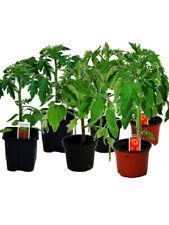 Tomatenset, 6 Tomatenpflanzen,Normale Stabtomate,Fleischtomate,Cocktailtomate