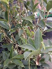 Hoa Mộc- Sweet Olive - Osmanthus fragrans - 2 Feet Tall