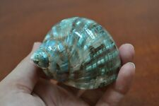 "GREEN PEARL TURBO SHELL HERMIT CRAB 2 1/2"" - 3"" #7064"