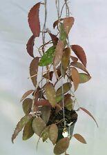 Hoya caudata sumatra [B22J4],1 pot rooted plant20-22 inchesUnique!