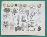 MARINE LIFE Sea Urchin Cucumber Jellyfish Polyp Medusa - 1870 Antique Print