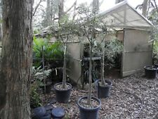 Bottle Tree (Qld) Brachychiton rupestris in a 50cm pot .