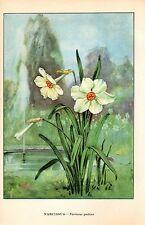 """1926 Vintage GARDEN FLOWER """"NARCISSUS"""" GORGEOUS COLOR Art Print Lithograph"""
